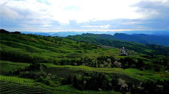 鹿鸣出好茶 第十四届中国·宜宾早茶节高山优质绿茶开采活动举行